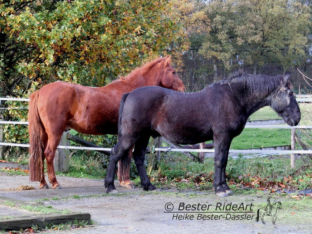 Ausgebildetet Pferde